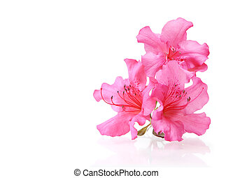 Three Rhododendron - Three rhodedendron flowers reflecting...