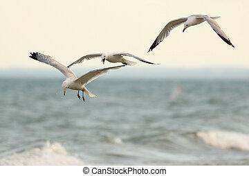 Three Ring Billed Gulls in Flight - Three Ring-billed Gulls...