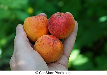 three ripe fruit on the palm of the hand