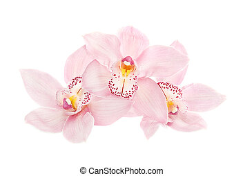 three rosy beautiful orchids isolated on white background