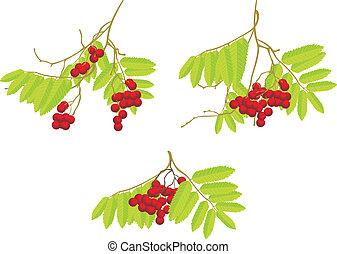 Three rowan branches. Vector illustration