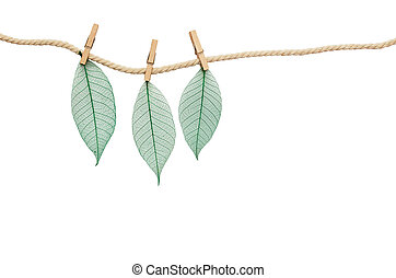 Three sceleton of green leaves hanging on rope with wooden clothespins