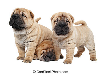 three sharpei puppy dog - group of purebred beige sharpei...
