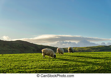Three sheep grazing on a green pasture againt a background of hills