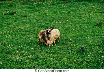 Three sheeps grazing the grass