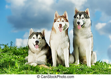 Three Siberian husky dog on grass - two little puppy of...