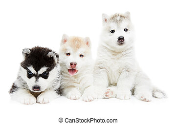 three Siberian husky puppy dog - group of Siberian husky...