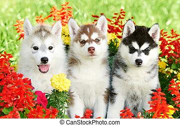 three Siberian husky puppy on grass - group of Siberian ...