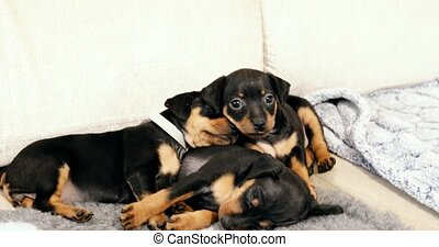Three Small Black Miniature Pinscher Zwergpinscher, Min Pin...