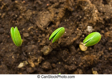 Three small plant of soy