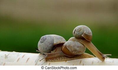 Three snails on birch wood