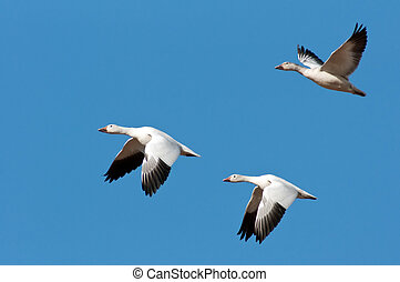 Three Snow Geese in Flight