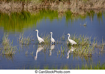 Three Snowy Egrets (Egretta thula) wading in water