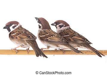three sparrows isolated