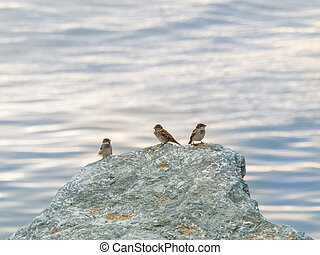 three sparrows on a rock overlooking the sea