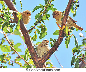 three young sparrows sitting in tree in a V shape. concept, background