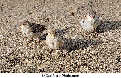 Three sparrows.