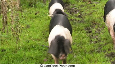 Three spotted pigs walking on green field - A close up front...