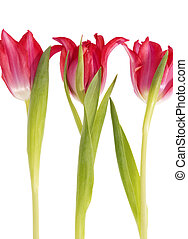 Three spring flowers of red tulip isolated on white background.