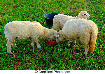 Three standing sheep licking salt