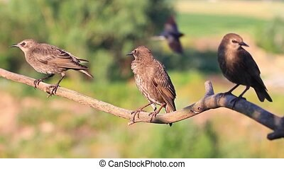 Three starling on a branch cleans feathers , wild animals,...