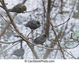 Three Starling sitting on a tree branch