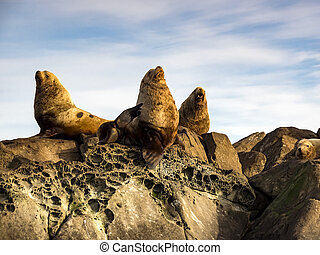 Three Steller Sea Lions (Eumetopias jubatus)