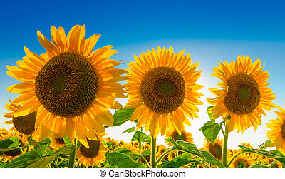 Three sunflowers against blue sky