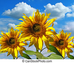 Three sunflowers on a background of the sky