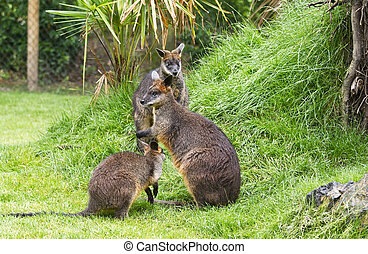 Swamp wallabies in park