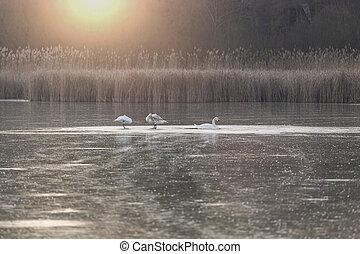 Three swans on a frozen pond