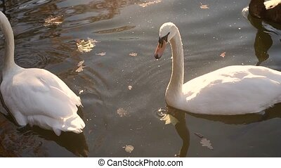 Three swans swim on the lake.