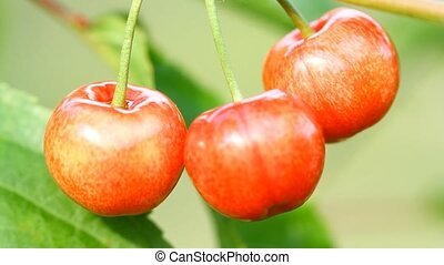 Three sweet cherry berries growing on a tree