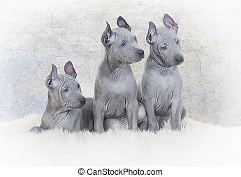 Three Thai ridgeback puppies against the wall