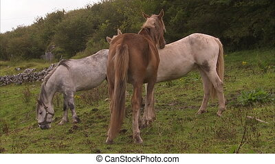Three thin horses - A full shot of thin horses in Ireland.
