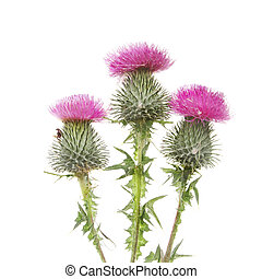 Three Thistle flowers