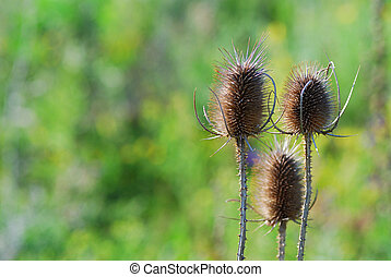 thistles - three thistles with green background in summer...
