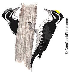 Three-toed Woodpecker - pair Picoides dorsalis Pencil ...