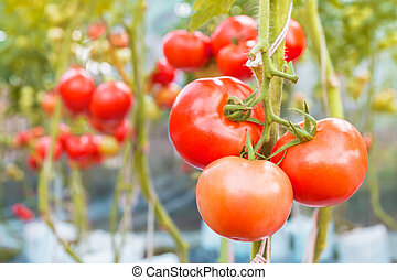 Three tomatoes on the branch
