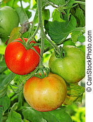 Three tomatoes: ripe, unripe and ripening on a branch close-up