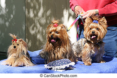 Three Toy Yorkies - Three adorable yorkies, two are real and...