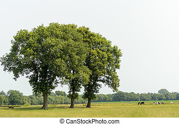 Three trees in a meadow with cows