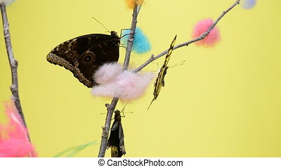 Three tropical butterflies sitting on a stick and flapping...