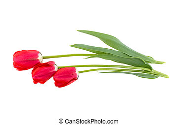 three tulip flowers on a white background isolated