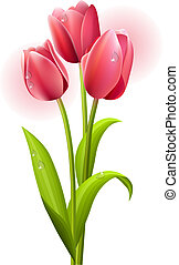Three tulips isolated on white background