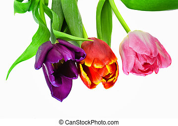 Three tulips of violet, red and pink flowers isolate on a white background close-up.