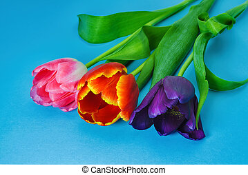 Three tulips of violet, red and pink flowers on a blue background close-up.