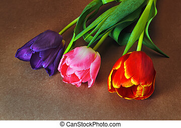 Three tulips of violet, red and pink flowers on a brown background close-up.