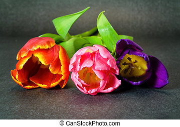 Three tulips of violet, red and pink flowers on a grey background close-up.