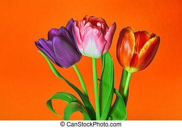 Three tulips of violet, red and pink flowers on a orange background close-up.